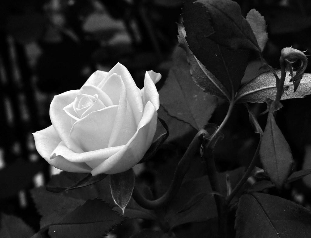 Imagenes De Rosas En Blanco Y Negro