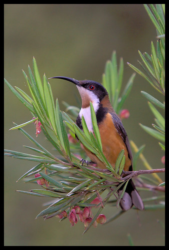 Eastern Spinebill, ANBG, 17.9.08a | by Tobias Hayashi Photography