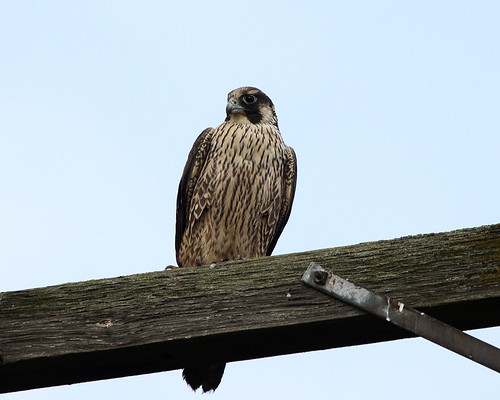 Juvenile Peregrine Falcon | by Team Hymas