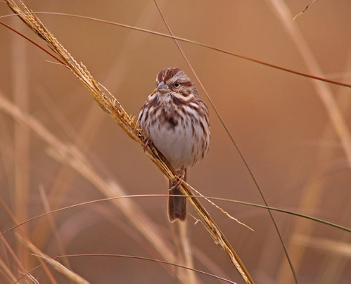 Song Sparrow | by kevinbolton56