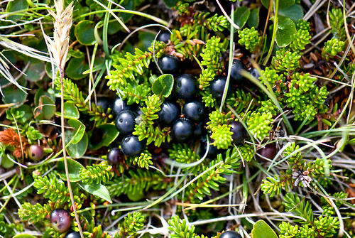 Crowberries | by quinet