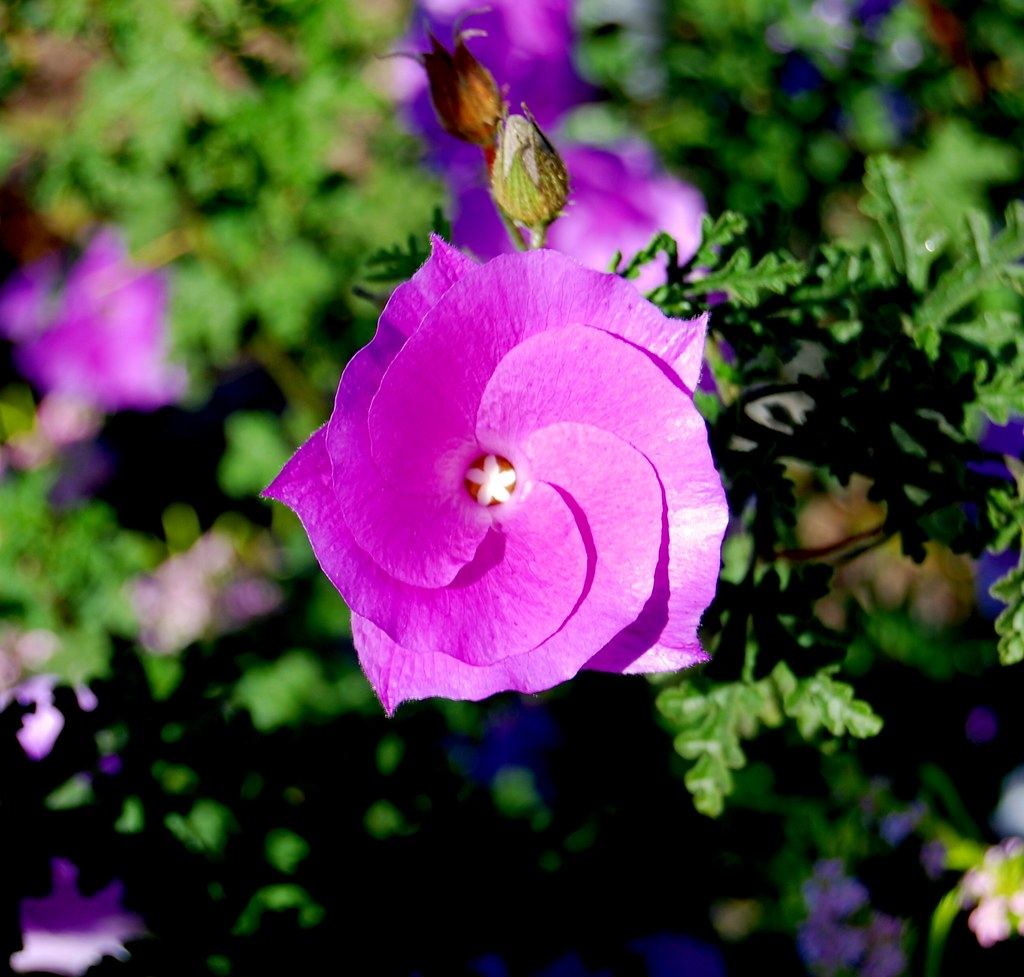 Interesting Purple Flower With Yellow Star Center Tex Texin Flickr