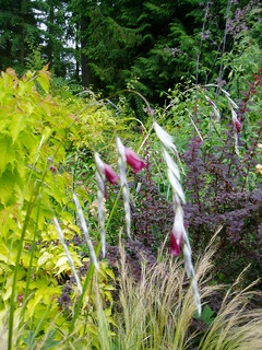 Dierama in Mixed Bed | by RHR Horticulture