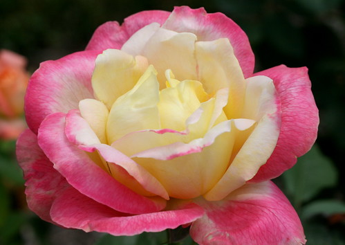 Bella'roma rose   Rosa Bella Roma at Chance Gardens ...