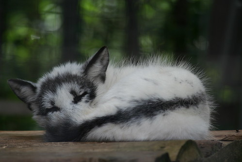 Sleeping Arctic Fox 2 A Sleeping Arctic Fox That Kinda