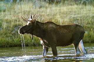 The moose | by Iminfocus
