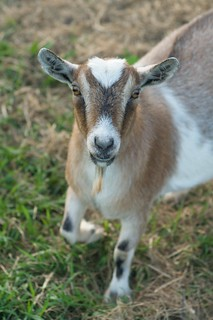Happy July 4 from Casey Goat | by pmarkham