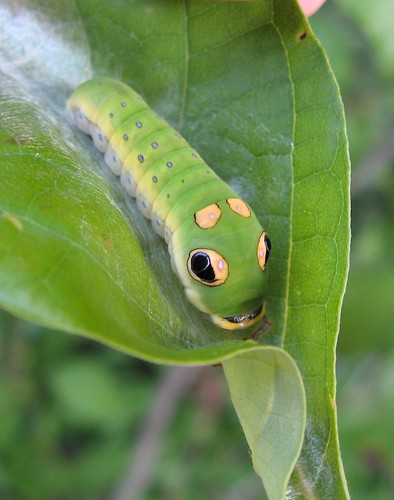 Gloriously Fat and Sassy (Spicebush Swallowtail caterpillar) | by poppy2323