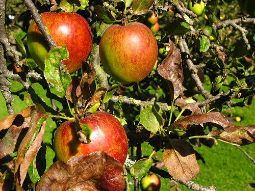 Apples in Fenton House Garden, Hampstead | by Laura Nolte