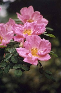 rosa 39 marguerite hilling 39 this is a shrub rose which. Black Bedroom Furniture Sets. Home Design Ideas