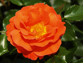 rose floribunda gebr der grimm rosenstadt baden bei wien. Black Bedroom Furniture Sets. Home Design Ideas