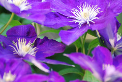 Purple Clematis Close-up | by agdenza