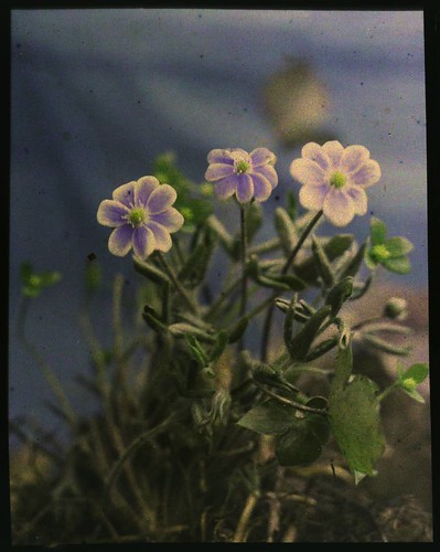 Plant with blue-violet flowers | by George Eastman Museum