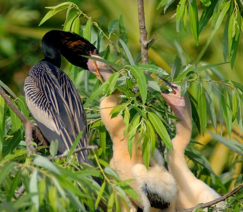 Anhinga feeding her young--Explored Sept 24 | by a walk on the wild side nature photography