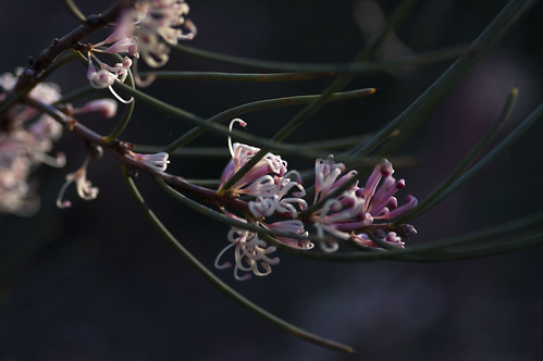 Hakea cycloptera | by Pink Thistle