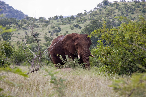 Elephant near Berg en Dal | by mjenner10