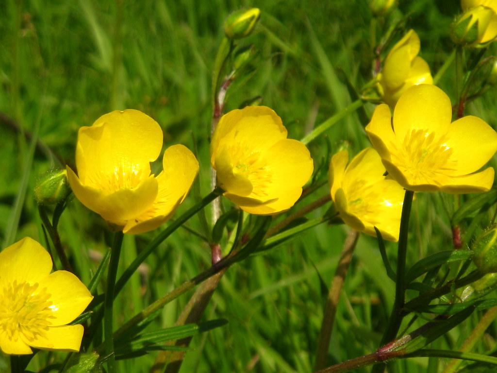 Fiori Gialli Botton Doro.Img 8476 Ranuncoli O Botton D Oro Ranunculus Acer Gianna