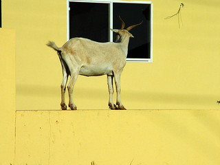 Goat on a Ledge in Aruba | by Serge Melki