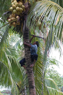 old guy getting some coconuts | by olliethebastard