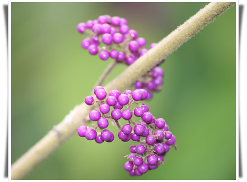 Purple Passion (Callicarpa) - Double helix DNA | by Ron in Blackpool