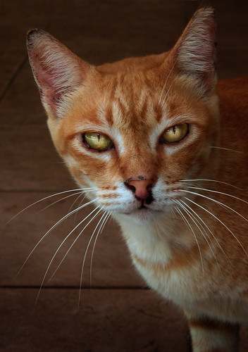 Singapore Stray Cat Breed