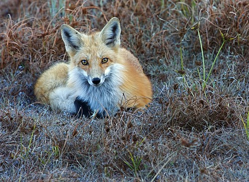 Red Fox | by flythebirdpath > > >