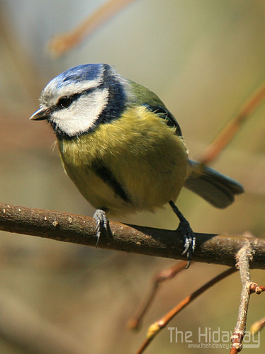 Blue tit | by Simon Bone Photography