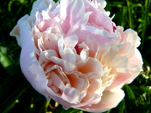 Peony in bloom | by Naztrida