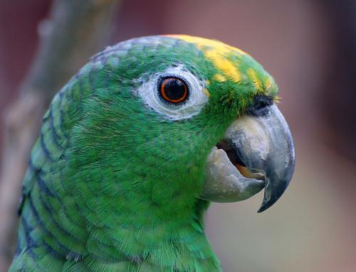 R G Parrott Ltd African Parrot   Art G...