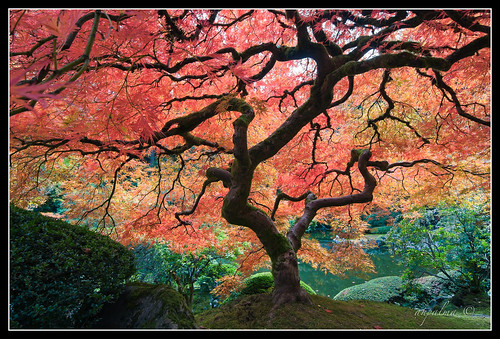 jap_garden_maple_tree | by ahp_ibanez
