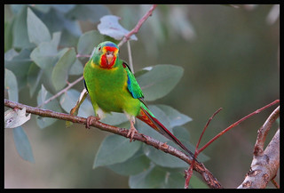 Swift Parrot, Mt Majura2 (55)a | by Tobias Hayashi Photography