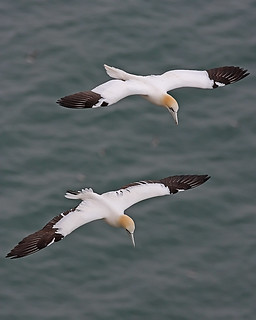 Gannets | by Mark_Coates