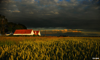 Wheat and sunset | by ikke_006