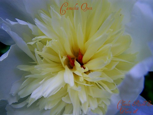 "Peonie Open | by ~Chuckles~! "" Intermittently Flickrin """