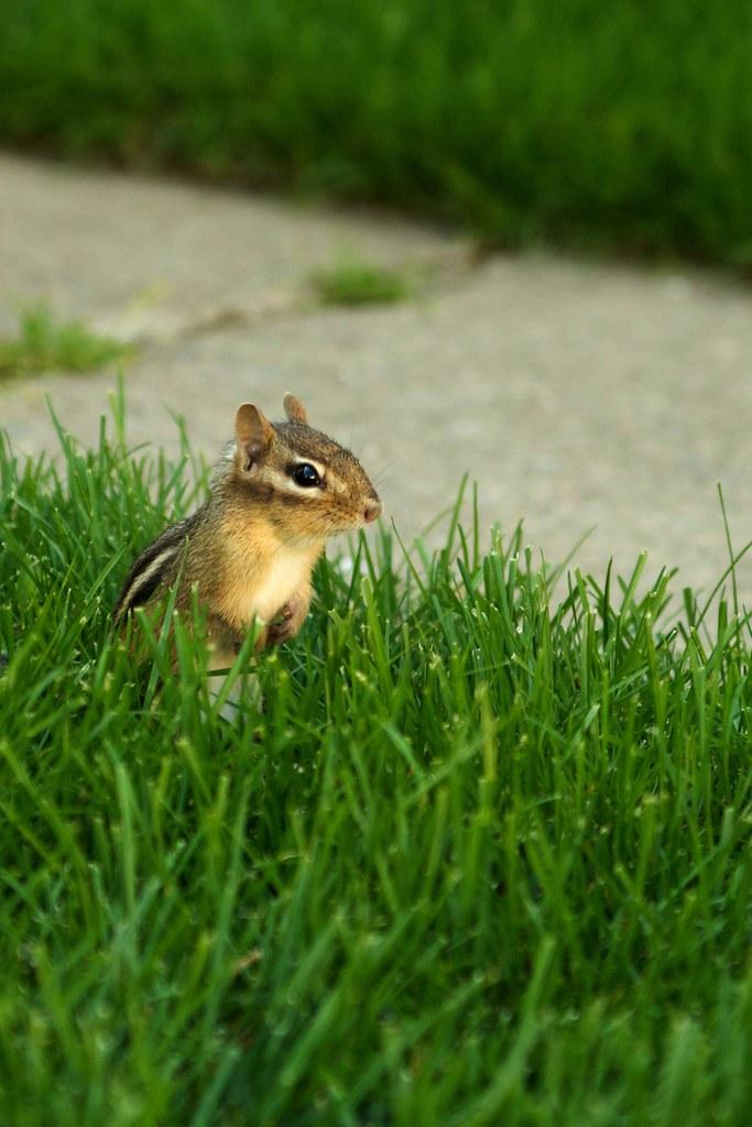 Chipmunks  Flickr-3697