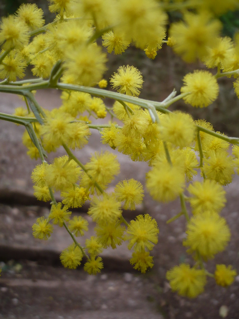 Yellow fluffy flower balls sarah flickr yellow fluffy flower balls by dichohecho mightylinksfo