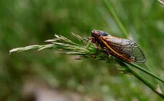 Cicada | by anoldent