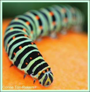 caterpillar (Papilio machaon) | by Tonnetje.