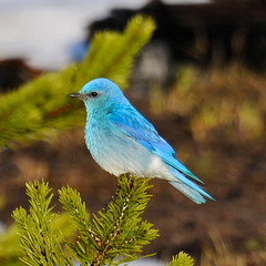 Mountain Bluebird | by Robinsegg