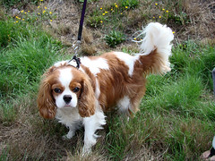 Cavalier King Charles Spaniel | by Shames Privacy