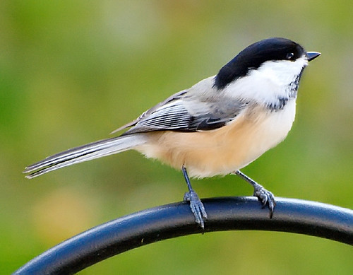 Chillin' Cheeky Chickadee | by RichJS