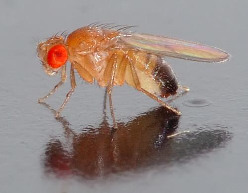 Risultati immagini per drosophila