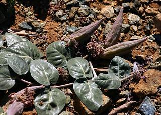 Asclepias solanoana Prostrate Milkweed