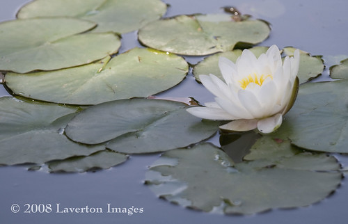 Water Lily | by Jeff L.2007 (Laverton Images)