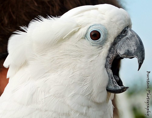 white cockatoo | by keys_to_imagination