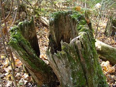 Tree stump an old tree stump covered in moss mn for What is a tree trunk covered with 4 letters