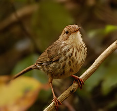 puff-throated babbler | by T_Monk