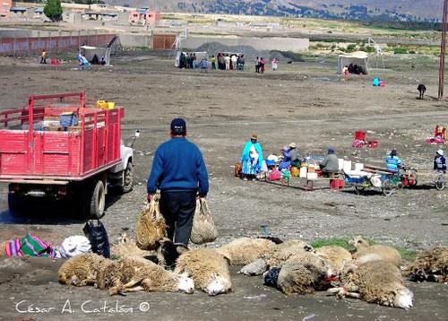 Bloqueadores que piden la Renuncia del Alcalde Edgar Ramos roban y matan ovejas de los comunarios de Vilaque para alimentarse durante estos días de Bloqueo