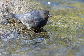 American Dipper Part 1 | by Rick Leche