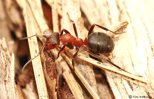 Ant - Scottish Wood Ant (Formica aquilonia) | by timz501